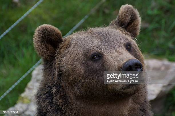 Close-Up Of Brown Bear On Grassy Field