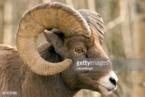 Close-up of brown bighorn sheep