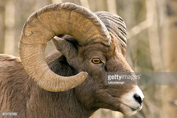 Close-up of brown bighorn sheep