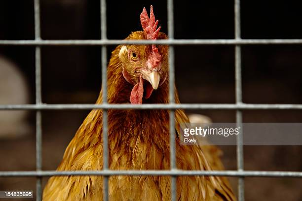 Closeup of brown hen in a cage with sprinklers.