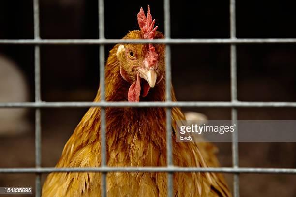 Primer plano de gallina marrón en una jaula con rociadores.