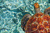 sea turtle in bora bora, tahiti