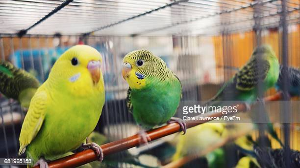 Close-Up Of Budgerigars In Birdcage