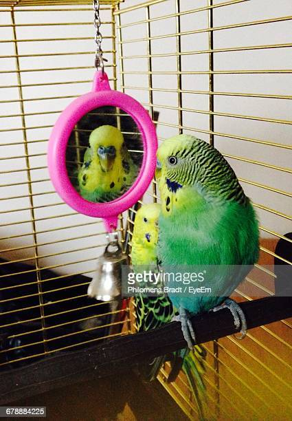 Close-Up Of Budgerigars Perching In Cage At Home