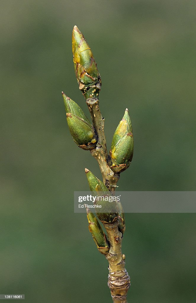 Closeup of Buds, Leaf Scar, and Lenticels of Eastern Cottonwood, Populus deltoides. Large resinous or sticky buds. Male and female on separate trees. Michigan. USA