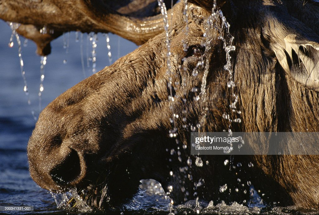 Close-up of bull moose (Alces alces) with water dripping off antlers : Stock Photo