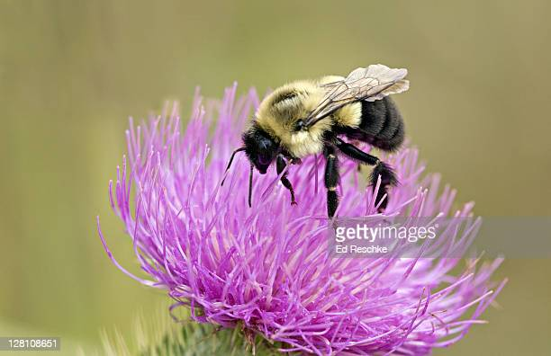 Closeup of Bumble Bee, Bombus bimaculatus, feeding on Canada Thistle, Sleeping Bear Dunes National Lakeshore, Michigan, USA. A large bee, not particularly aggressive unless nests are disturbed.
