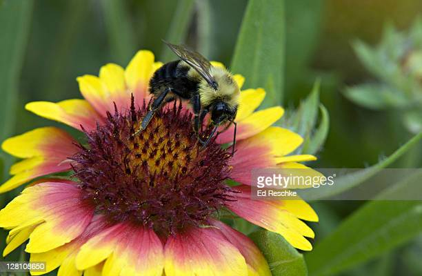 Closeup of Bumble Bee, Bombus bimaculatus, feeding on Indian Blanket flower, Michigan, USA. A large bee, not particularly aggressive unless nest is disturbed.
