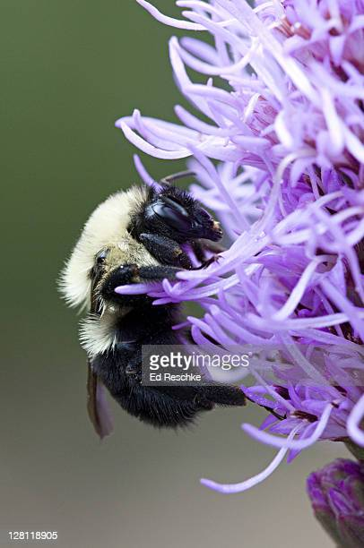 Closeup of Bumble Bee, Bombus bimaculatus, on Blazing Star, Liatris sp, Michigan, USA. Peaceful, large, furry gatherers of nectar and pollen, and do not bother anyone unless their nests are disturbed.