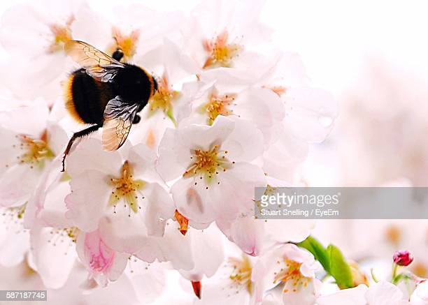 Close-Up Of Bumblebee On Cherry Blossoms