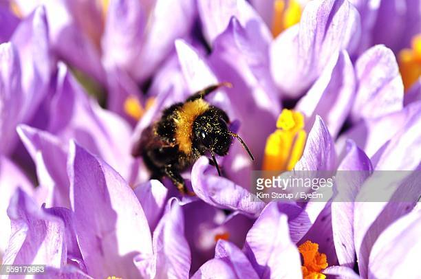 Close-Up Of Bumblebee On Crocus Flower