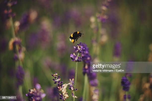 Close-Up Of Bumblebee On Lavender Blooming Outdoors