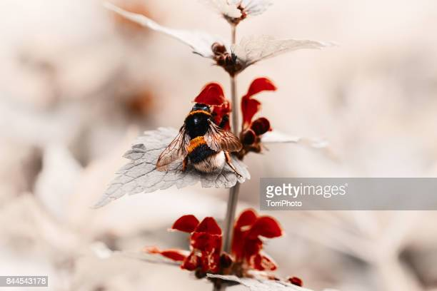 Close-Up Of Bumblebee On Red Flowers (Bombus terrestris)