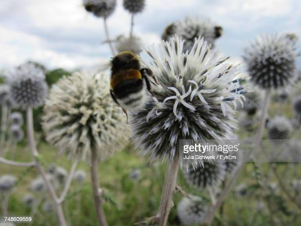 Close-Up Of Bumblebee On Thistle Blooming Outdoors