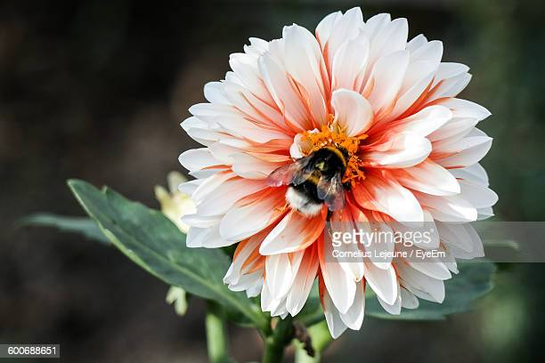 Close-Up Of Bumblebee Pollinating On Dahlia