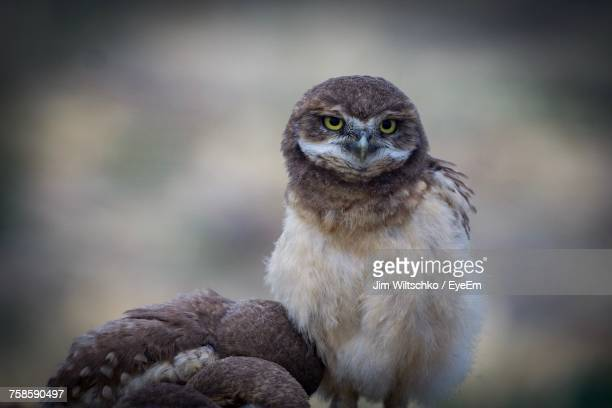 Close-Up Of Burrowing Owlets Outdoors