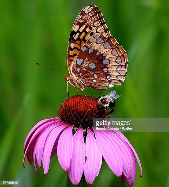 Close-Up Of Butterfly And Bee On Eastern Purple Coneflower