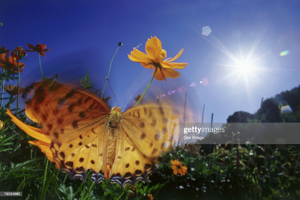 Close-up of Butterfly, flapping wings : Stock Photo