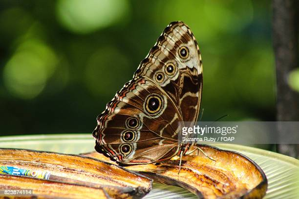 Close-up of butterfly on banana slice
