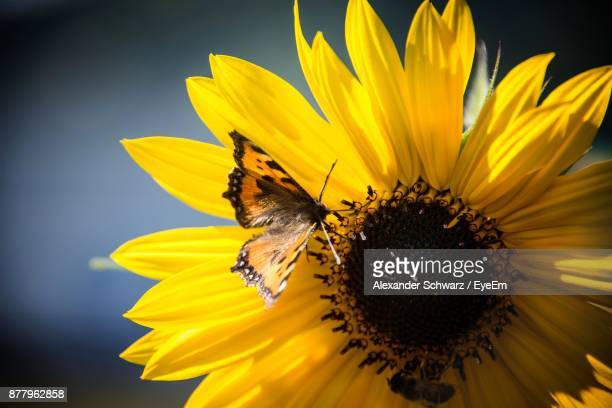 Close-Up Of Butterfly On Black-Eyed Susan