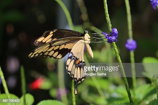 Close-Up Of Butterfly On Flower, Giant Swallowtail (Heraclides cresphones)