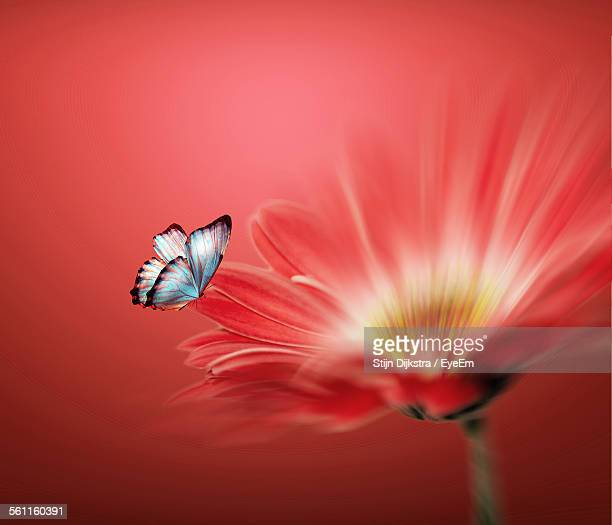 Close-Up Of Butterfly On Flower Over Red Background