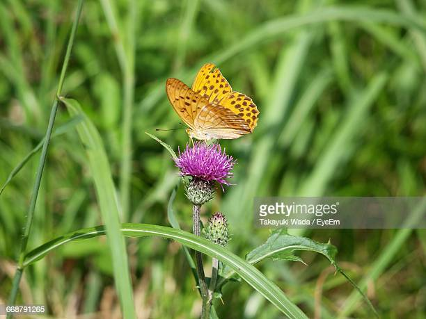 Close-Up Of Butterfly On Milk Thistle Flower