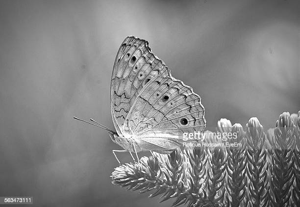 Close-Up Of Butterfly On Pine Tree Branch