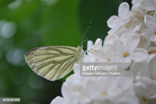Close-Up Of Butterfly On White Flowers