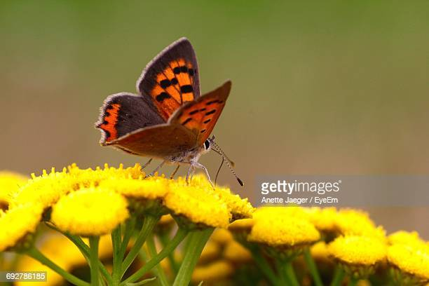 Close-Up Of Butterfly On Yellow Flowers