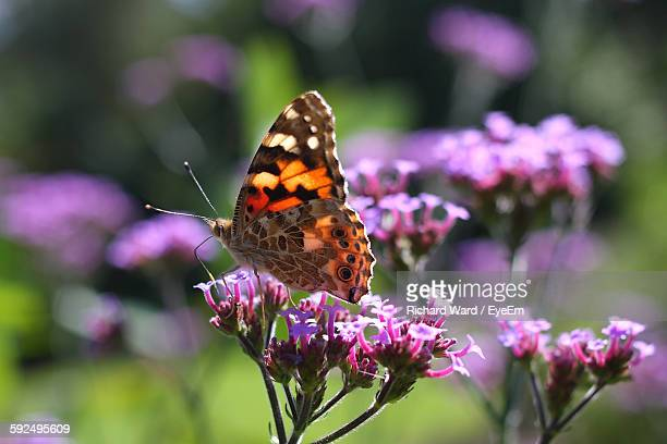 Close-Up Of Butterfly Pollinating Fresh Purple Flower In Garden
