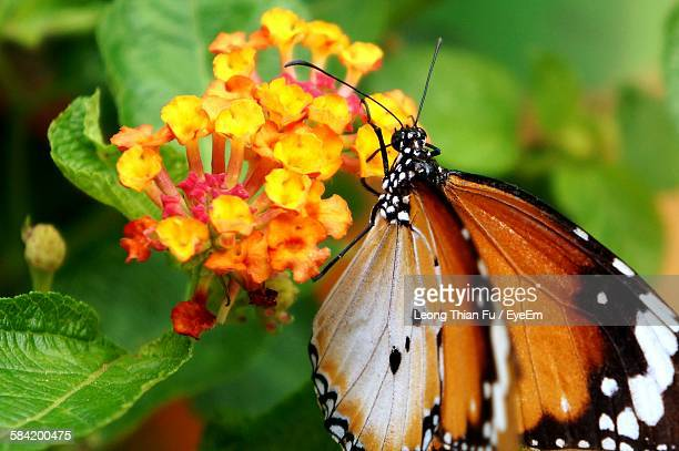 Close-Up Of Butterfly Pollinating On Lantana