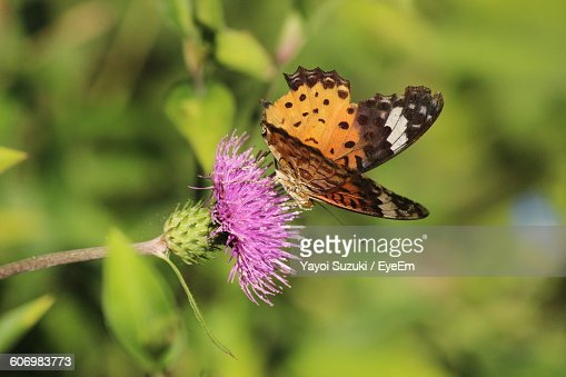 Close-Up Of Butterfly Pollinating Purple Flower