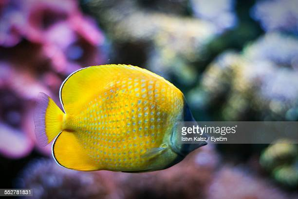 Close-Up Of Butterflyfish In Aquarium