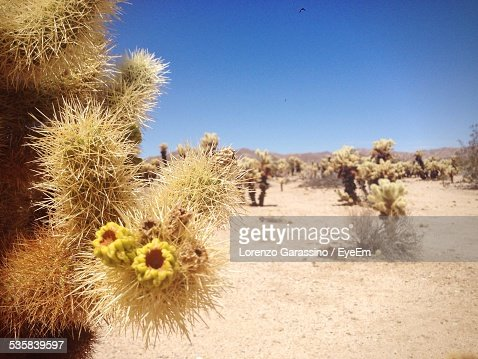 Close-Up Of Cactus Growing On Desert Against Clear Blue Sky