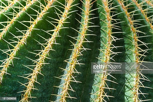 Closeup of cactus thorns