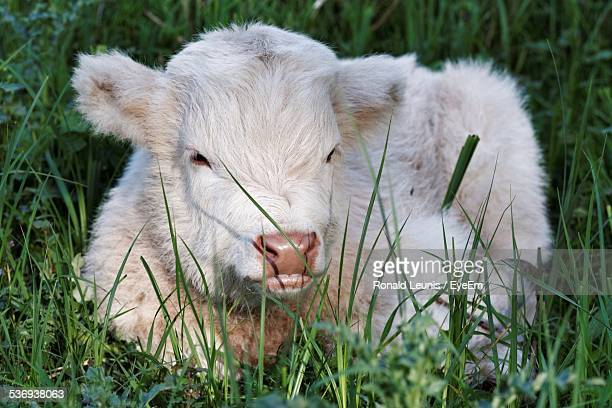 Close-Up Of Calf Relaxing On Grassy Field