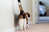 Closeup of calico cat back walking showing tail butt, hind legs on carpet floor curious in hall hallway to bedroom in home room, bed