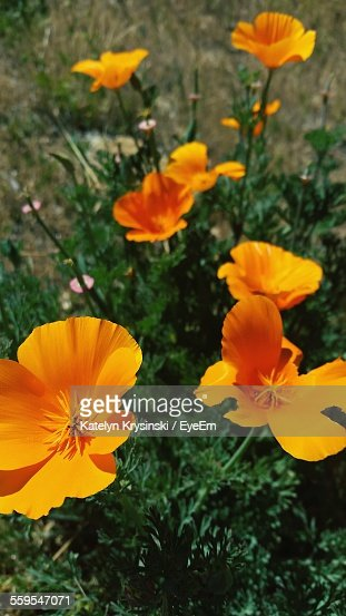 Close-Up Of California Golden Poppy Blooming In Field