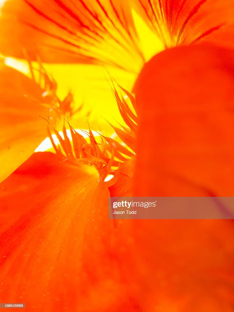 Close-up of California poppy red chief wildflower