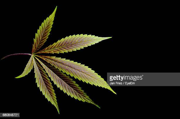 Close-Up Of Cannabis Leaf Against Black Background