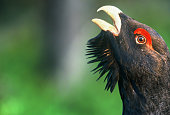 Close-up of wonderful Capercaillie head (Tetrao urogallus) with open beak, Finland.