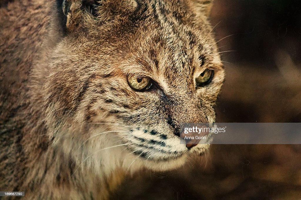 Closeup of captive bobcat