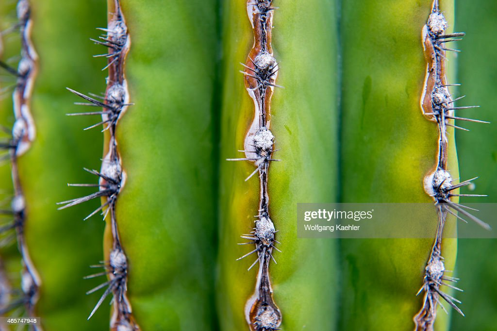 Closeup of cardon cacti on the Isla Espiritu Santo in the Bahia de La Paz Sea of Cortez in Baja California