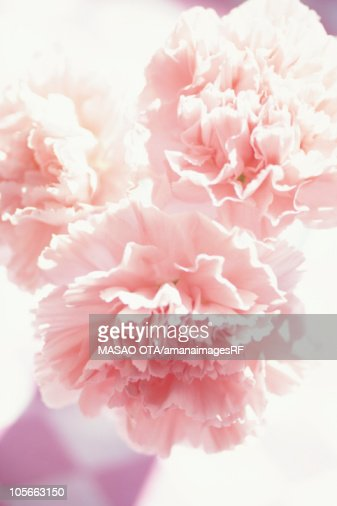 Close-up of carnations