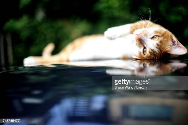Close-Up Of Cat Looking Away While Relaxing On Car Hood