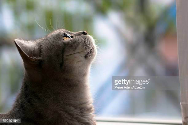 Close-Up Of Cat Looking Up At Window
