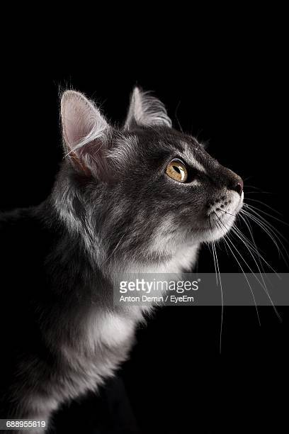 Close-Up Of Cat Over Black Background
