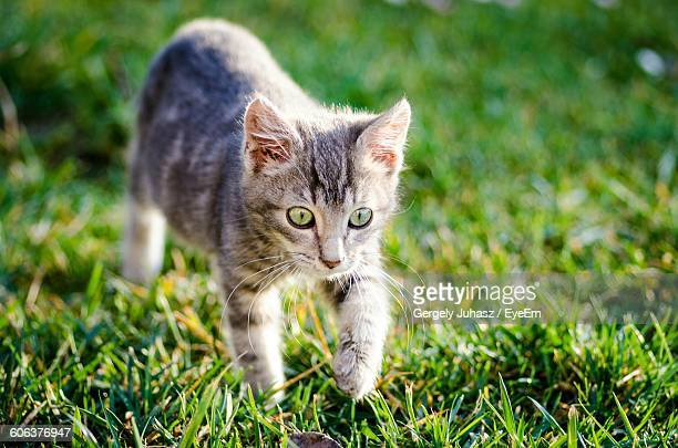 Close-Up Of Cat Walking On Grassy Field