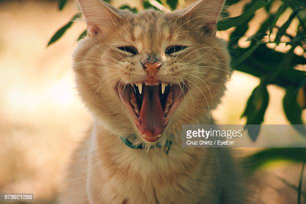 Close-Up Of Cat Yawning